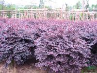 工程苗木价格:红花美人蕉.红花石蒜.红花紫露草,红王子锦带
