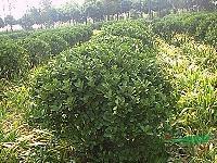工程苗木价格:火炬花,虎尾兰,红枫,海棠球,海桐球,含笑球