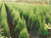 工程苗木报价:火棘球,高杆红枫,海棠,合欢,河南桧柏,核桃树