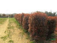 工程苗木报价:红叶黄杨,红叶李,红叶梅,红叶女贞,红叶小柏