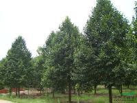 景观花木报价:乐东拟单性木兰,柳杉,银桂,栾树,栾树(半冠)
