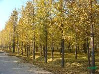 景观花木价格:爬山虎,匍匐扶芳藤,箬竹,朴树,泡桐,铺地柏