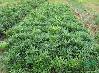 景观花木价格:伞房决明,沙地柏,山茶花,珊瑚树,十大功劳