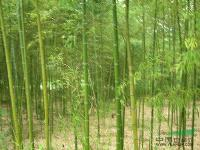景观花木价格:雀舌黄杨,雀叶罗汉松,青刚竹,青皮刚竹,青皮竹