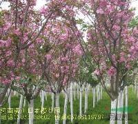 景观花木价格:日本红枫,蜀桧球,日本女贞,速生杨,日本樱花