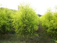 景观花木价格:日本晚樱,乳源木莲,三叶地锦,珊瑚朴,双色锦带