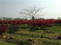 江蘇大量銷售地徑2---15公分的日本紅楓