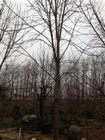 江苏七叶树