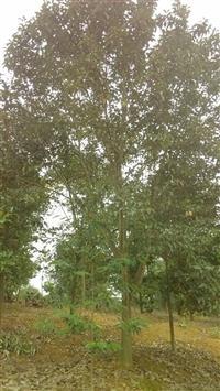 大量供应云山白兰,8-18公分,实生苗。树形7-8分。