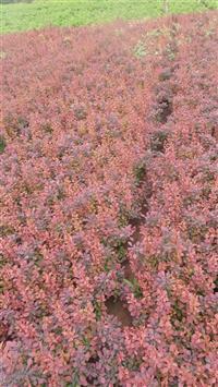 紫叶小檗苗供应/红叶小檗苗图片