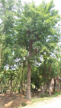 江蘇櫸樹10-15公分供應/江蘇櫸樹10-15公分圖片