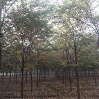 榉树图片/榉树价格