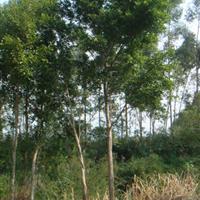 景观花木报价乌桕,重阳木,拐枣,枳椇,无患子,文冠果
