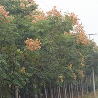 景观花木报价栾树,柽柳,七叶树,梓树,蓝花楹,泡桐,丝绵木
