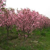 绿化苗木价格:茶梅球,茶树,常春藤,丛竹,垂丝海棠,垂枝海棠