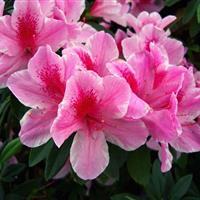 绿化苗木报价:杜鹃球,杜鹃桩,大花飞燕草,枫杨,大花霍香蓟