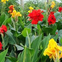 景观花木报价:花叶芦苇,花叶芦竹,水生美人焦,花叶香蒲