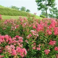 工程苗木报价:红花六道木,红花木莲,红叶椿,红花忍冬,皇帝菊