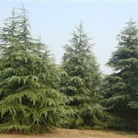 景观苗木价格:香樟(移栽),新疆杨,雪松(籽播苗),玉带草