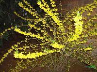 黄金条、黄金条苗、金钟花、金钟花苗 别名迎春条、细叶连翘