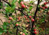 贴梗海棠 别名铁脚海棠、铁杆海棠、皱皮木瓜、川木瓜、宣木瓜