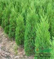 供应:塔柏、红叶小檗、洒金柏、八角金盘、蜀桧、麦冬草、榆叶