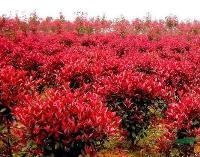 供应:红瑞木、绣线菊、花石榴、迎春、棣棠、连翘