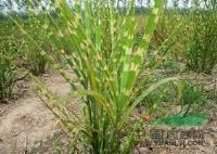 各种水生植物 花叶蒲苇