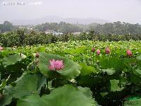 各种水生植物 荷花( 红花、白花)、莲花
