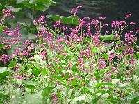 各种水生植物 红蓼