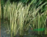 各种水生植物 金边菖蒲、金叶菖蒲、金叶石菖蒲