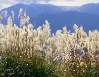 各种水生植物 芦苇 花叶芦苇 金叶芦苇