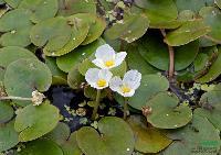 各种水生植物 浙江 水鳖