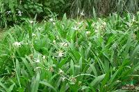各种水生植物 水鬼蕉 蜘蛛抱蛋 蜘蛛兰