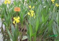 各种水生植物 水生美人蕉、红花美人蕉、黄花美人蕉
