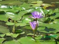各种水生植物 睡莲