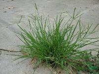各种水生植物 细叶莎草、垂穗莎草