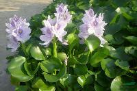 各种水生植物 观赏草 雨久花、梭鱼草