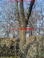 肥西快乐赛车玩法-皂角、榔榆、朴树 、三角枫、水杉、桂花