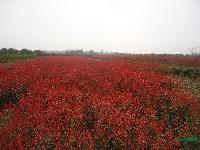 湖南红叶石楠小苗,红叶石楠球,红叶石楠树(附价格表)