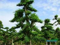 湖南造型榆树,造型榆树价格(附报价表)
