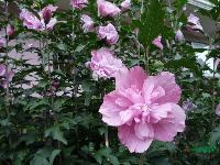 木槿、芙蓉、结香、木绣球、木香、夹竹桃、红瑞木、绣线菊、 花