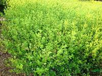 小叶黄杨、大叶黄杨、金边黄杨、金叶瓜子黄杨、玉边黄杨、雀舌黄
