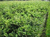 蚊母、夹竹桃、法国冬青、茶梅、月季、红叶石楠