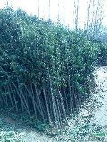 1-30國槐,水杉,楓楊,白臘,欒樹,法桐,垂柳,銀杏,紫薇