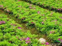 湖南地区20-30的杜鹃小苗