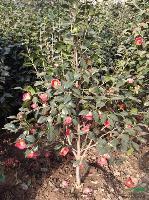 供應:香樟、無患子、桂花、欒樹、廣玉蘭、合歡、蜀檜、紫薇