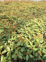 供应:桂花.金银木、丁香、木槿、红瑞木、绣线菊、桅子花、榆叶