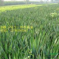 草坪价格、红花草价格、葱兰价格、马尼拉价格、马蹄筋价格