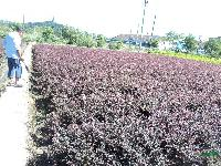 安徽合肥 黄连木、榔榆、三角枫、丝棉木、杜梨